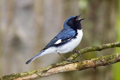 A Male Black-Throated Blue Warbler, Setophaga Caerulescens, Singing a Territorial Song-George Grall-Photographic Print