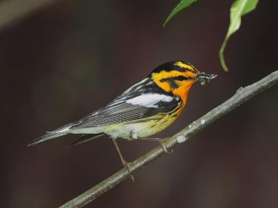 A Male Blackburnian Warbler Rests with a Mouthful of Caterpillars-George Grall-Photographic Print