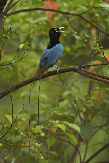 A Male Blue Bird of Paradise Calling-Tim Laman-Photographic Print