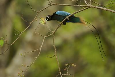 A Male Blue Bird of Paradise Foraging-Tim Laman-Photographic Print