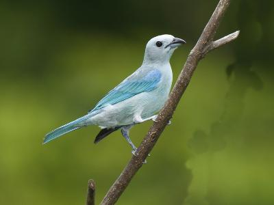 A Male Blue-Gray Tanager, Thraupis Episcopis, on a Twig-George Grall-Photographic Print