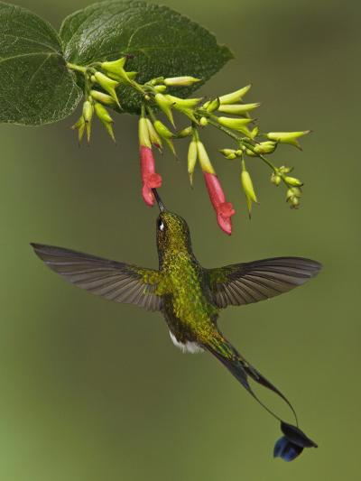 A Male Booted Racket-Tail Hummingbird (Ocreatus Underwoodii) Flying and Feeding-Glenn Bartley-Photographic Print