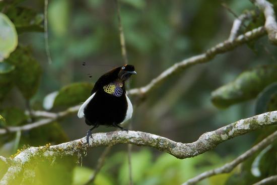 A Male Bronze Parotia Bird of Paradise in the Foja Mountains-Tim Laman-Photographic Print