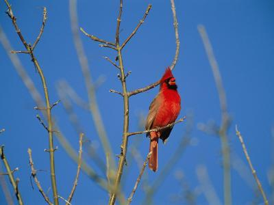 A Male Cardinal Sings in a Suburban Omaha Tree-Joel Sartore-Photographic Print
