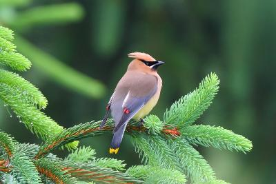 A Male Cedar Waxwing, Bombycilla Cedrorum, Perched on a Pine Tree Limb-George Grall-Photographic Print