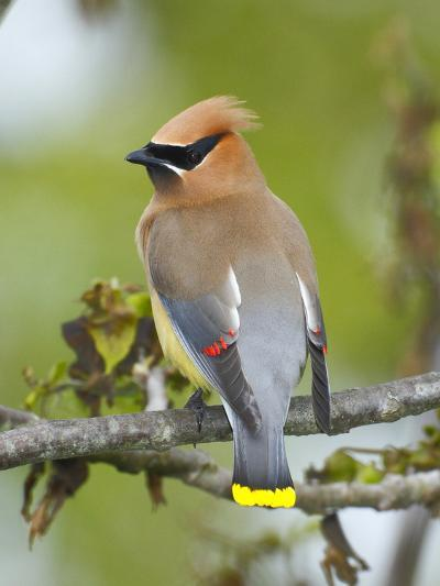 A Male Cedar Waxwing in Breeding Color on a Tree Branch-George Grall-Photographic Print