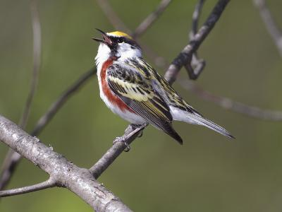 A Male Chesnut-Sided Warbler, Dendroica Pensylvanica, Singing-George Grall-Photographic Print