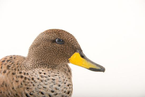 A Male Chilean Teal, Anas Flavirostris, at Sylvan Heights Bird Park-Joel Sartore-Photographic Print