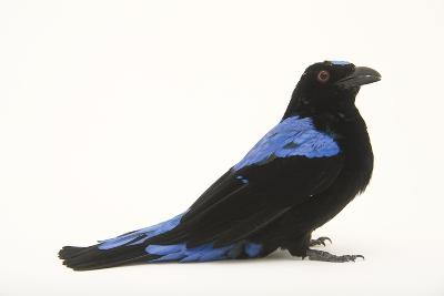 A Male Fairy Bluebird, Irena Puella, at Omaha's Henry Doorly Zoo-Joel Sartore-Photographic Print
