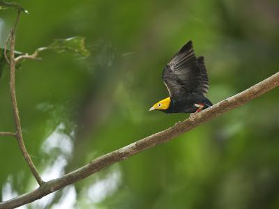 A Male Golden-Headed Manakin Moves its Wings Silently-Tim Laman-Photographic Print