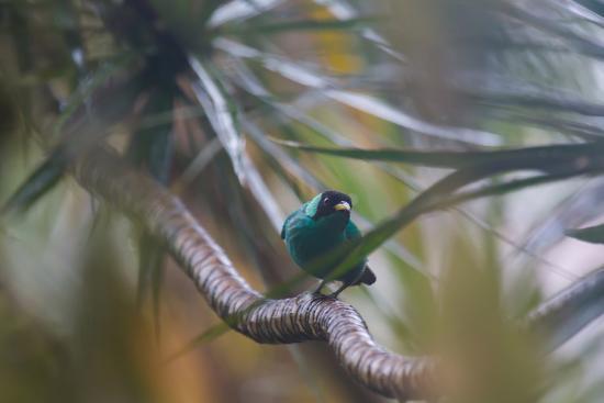 A Male Green Honeycreeper, Chlorophanes Spiza, Perching in a Tree in Ubatuba-Alex Saberi-Photographic Print
