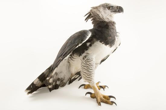 A male harpy eagle, Harpia harpyja-Joel Sartore-Photographic Print