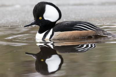 A Male Hooded Merganser Duck, Lophodytes Cucullatus, Swimming in Icy Water-Robbie George-Photographic Print