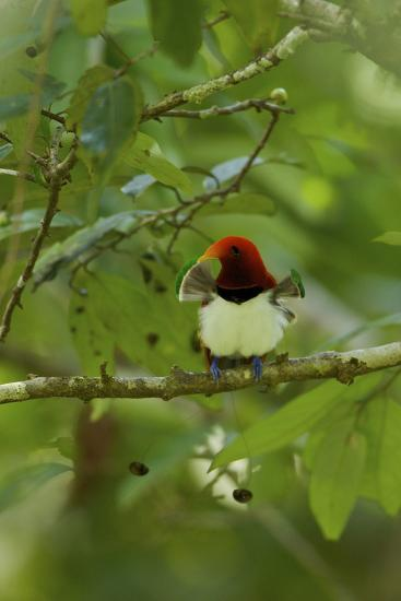 A Male King Bird of Paradise with His Pectoral Fans Extended-Tim Laman-Photographic Print