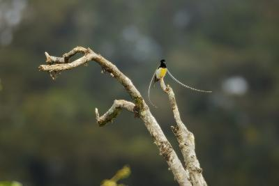 A Male King of Saxony Bird of Paradise On Calling Perch Above the Canopy-Tim Laman-Photographic Print