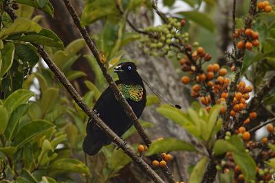 A Male Lawes's Parotia Bird of Paradise Foraging-Tim Laman-Photographic Print