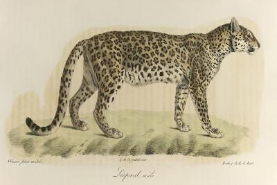 A Male Leopard--Giclee Print