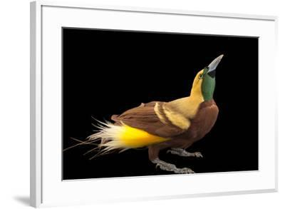 A male lesser bird of paradise, Paradisaea minor, from a private collection.-Joel Sartore-Framed Photographic Print