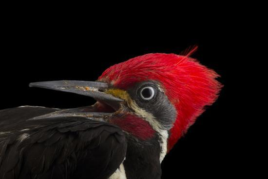 A male lineated woopecker, Dryocopus lineatus-Joel Sartore-Photographic Print