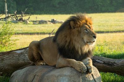 A Male Lion at the Columbus Zoo-Joel Sartore-Photographic Print