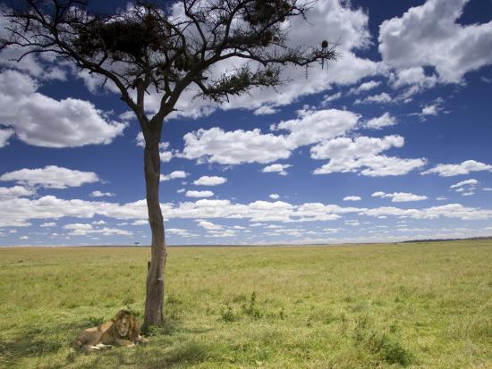 A Male Lion Beneath a Lone Acacia Tree on Open Grassland (Panthera Leo)-Roy Toft-Photographic Print