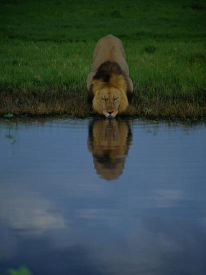 A Male Lion in His Prime Drinking from a Pool-Beverly Joubert-Photographic Print