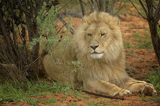 A Male Lion in the Cederberg Wilderness Area, South Africa-Keith Ladzinski-Photographic Print