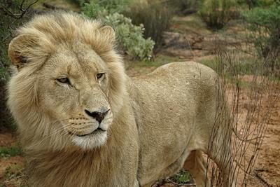 https://imgc.artprintimages.com/img/print/a-male-lion-in-the-cederberg-wilderness-area-south-africa_u-l-pu6mnj0.jpg?p=0