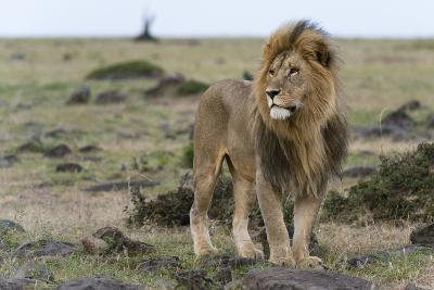 A Male Lion, Panthera Leo, Looking at the Surroundings-Sergio Pitamitz-Photographic Print