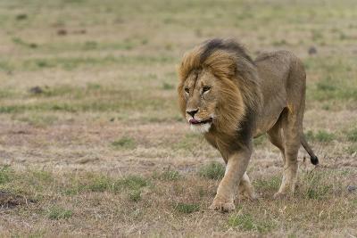A Male Lion, Panthera Leo, Walking at Masai Mara National Reserve-Sergio Pitamitz-Photographic Print