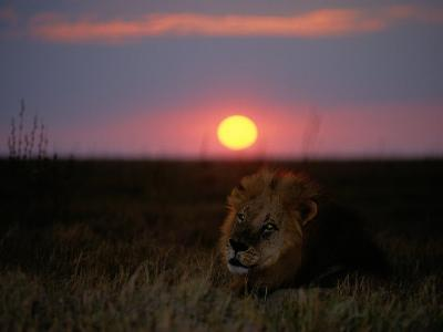 A Male Lion Pictured at Sunset-Beverly Joubert-Photographic Print