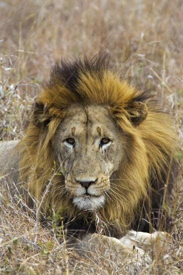 A Male Lion Rests in Grass at the Phinda Game Reserve-Steve Winter-Photographic Print