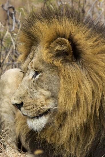 A Male Lion Rests in Grass-Steve Winter-Photographic Print