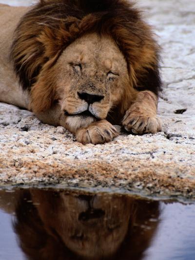 A Male Lion Sleeps Peacefully Near a Water Hole-Tim Laman-Photographic Print