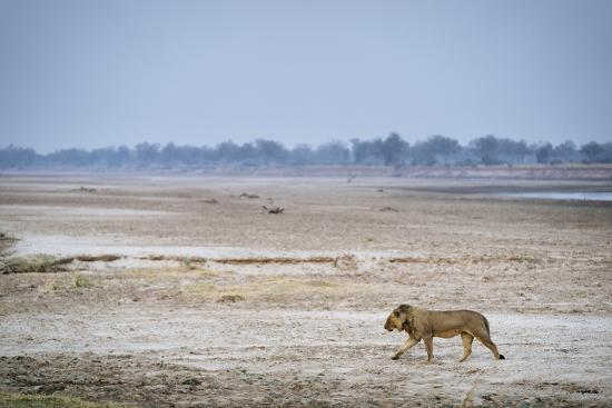 A male lion walking on the banks of the Luangwa River.-Chris Schmid-Photographic Print