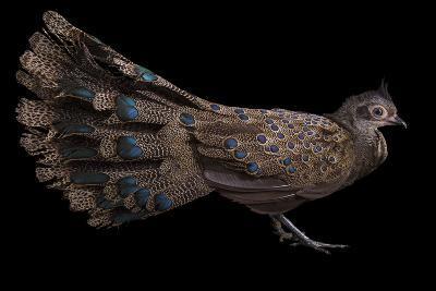 A Male Malay Peacock Pheasant, Polyplectron Malacense, at Pheasant Heaven-Joel Sartore-Photographic Print