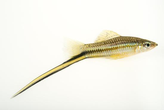 A male Montezuma swordtail, Xiphophorus montezumae-Joel Sartore-Photographic Print