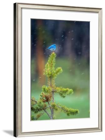 A Male Mountain Bluebird Perched on the Top of a Small Lodgepole Pine, Watching for Insects-Tom Murphy-Framed Photographic Print