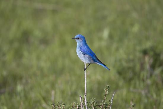 A Male Mountain Bluebird, Sialia Currucoides, Perched on a Twig Looking for Insect Prey-Robbie George-Photographic Print