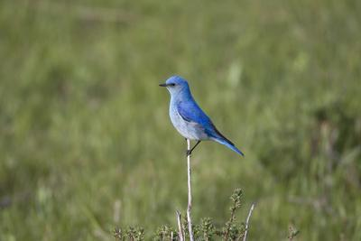 https://imgc.artprintimages.com/img/print/a-male-mountain-bluebird-sialia-currucoides-perched-on-a-twig-looking-for-insect-prey_u-l-polm0x0.jpg?p=0