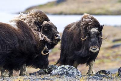 A Male Musk Ox Scenting a Female to See If She Is in Oestrus for Mating-Jason Edwards-Photographic Print