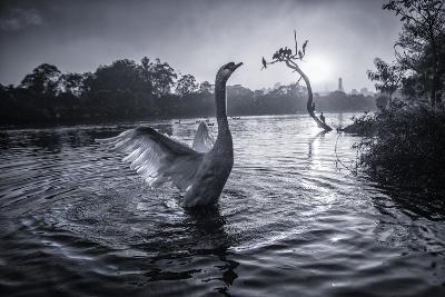 A Male Mute Swan in a Pond Stretches His Wings in Ibirapuera Park-Alex Saberi-Photographic Print