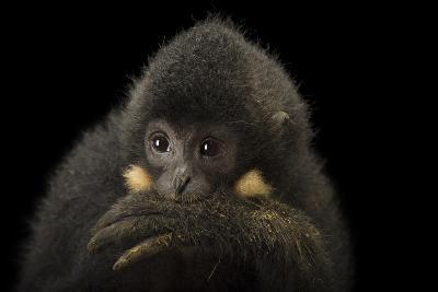 A Male Northern Buffed Cheeked Gibbon, Nomascus Annamensis.-Joel Sartore-Photographic Print