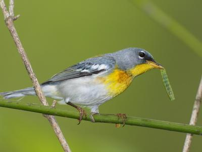 https://imgc.artprintimages.com/img/print/a-male-northern-parula-parula-americana-with-a-caterpillar-in-beak_u-l-phumay0.jpg?p=0