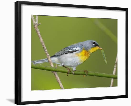 A Male Northern Parula, Parula Americana, with a Caterpillar in Beak-George Grall-Framed Photographic Print