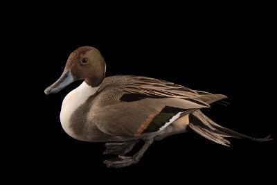 A Male Northern Pintail Duck, Anas Acuta, at the Sylvan Heights Bird Park-Joel Sartore-Photographic Print