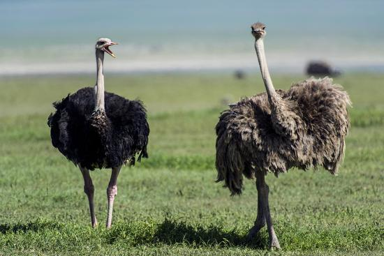 A Male Ostrich Challenging a Female Ostrich with His Beak Open on the Savannah-Jason Edwards-Photographic Print