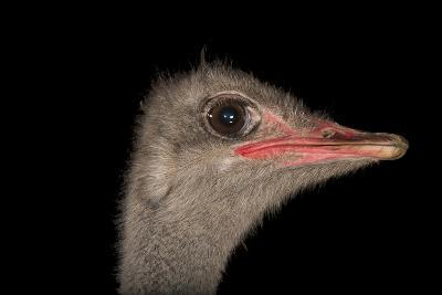 A Male Ostrich, Struthio Camelus, at Omaha's Henry Doorly Zoo and Aquarium-Joel Sartore-Photographic Print