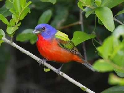 A Male Painted Bunting, Passerina Ciris, Perched, Listening for Song-George Grall-Photographic Print