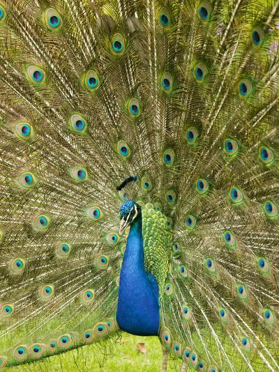 A Male Peacock Displaying-Ashley Cooper-Photographic Print
